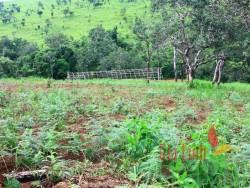 Plantation of Pinetrees